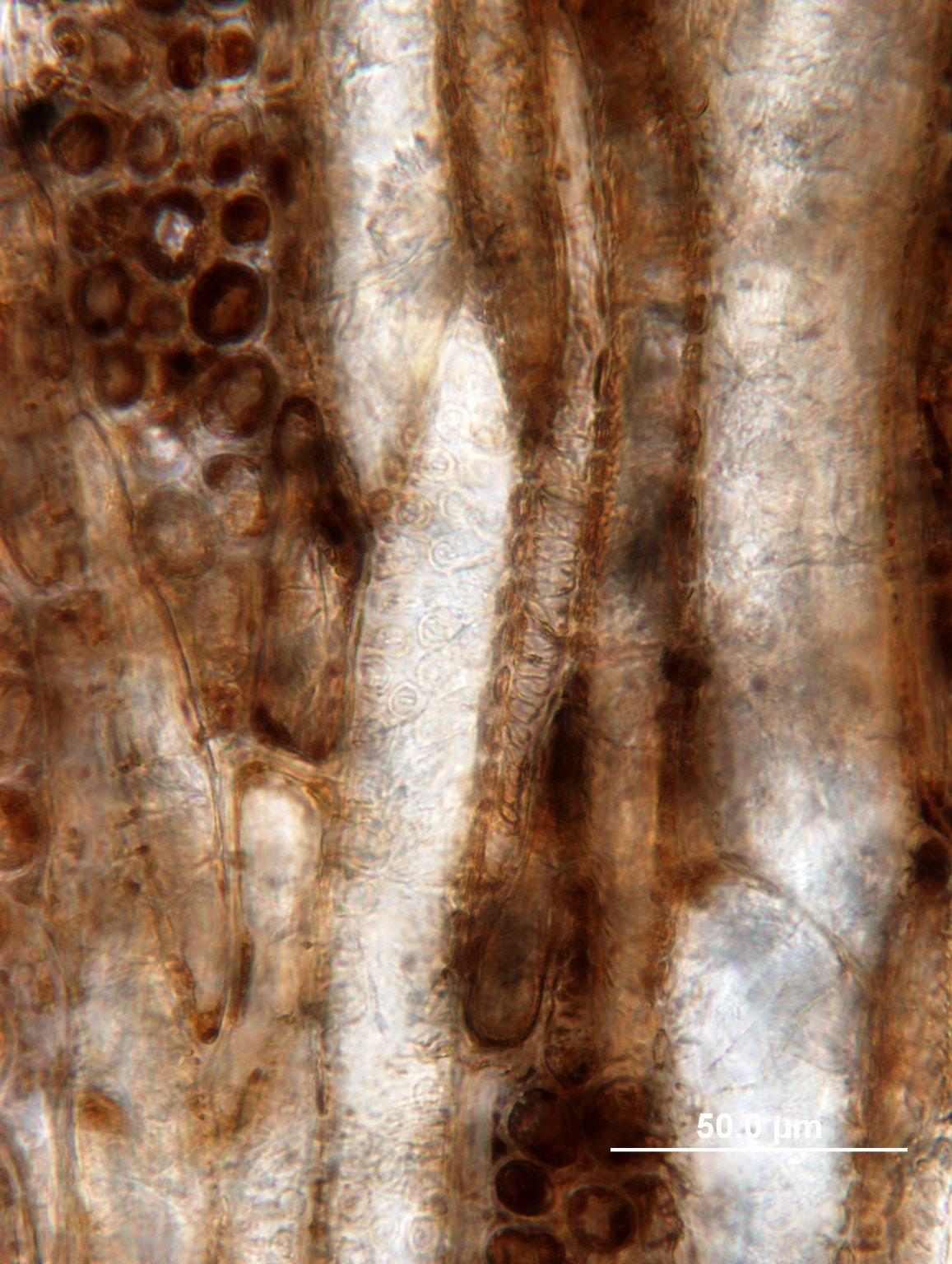 PAPILIONOIDEAE Robinia zirkelii