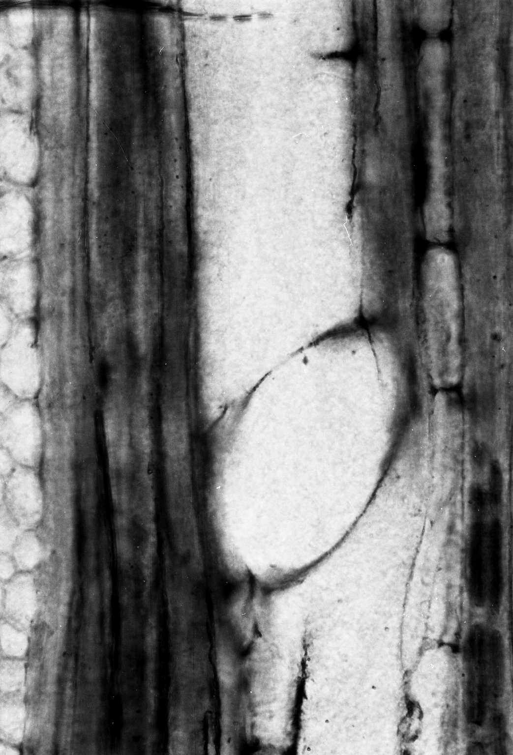 CORNACEAE Alangium oregonensis