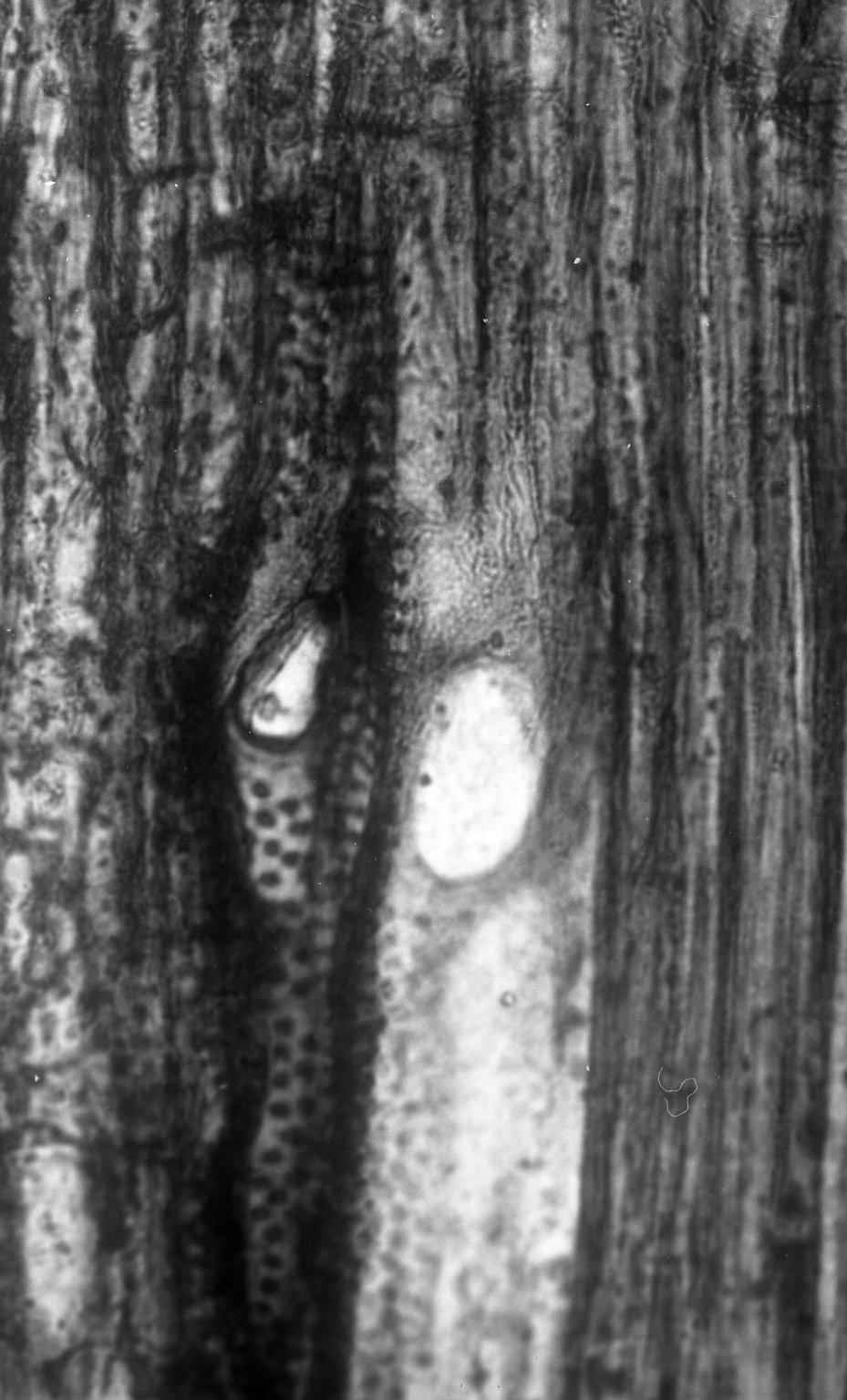 FAMILY? Clarno Nut Beds Xylotype III-C-ii 2