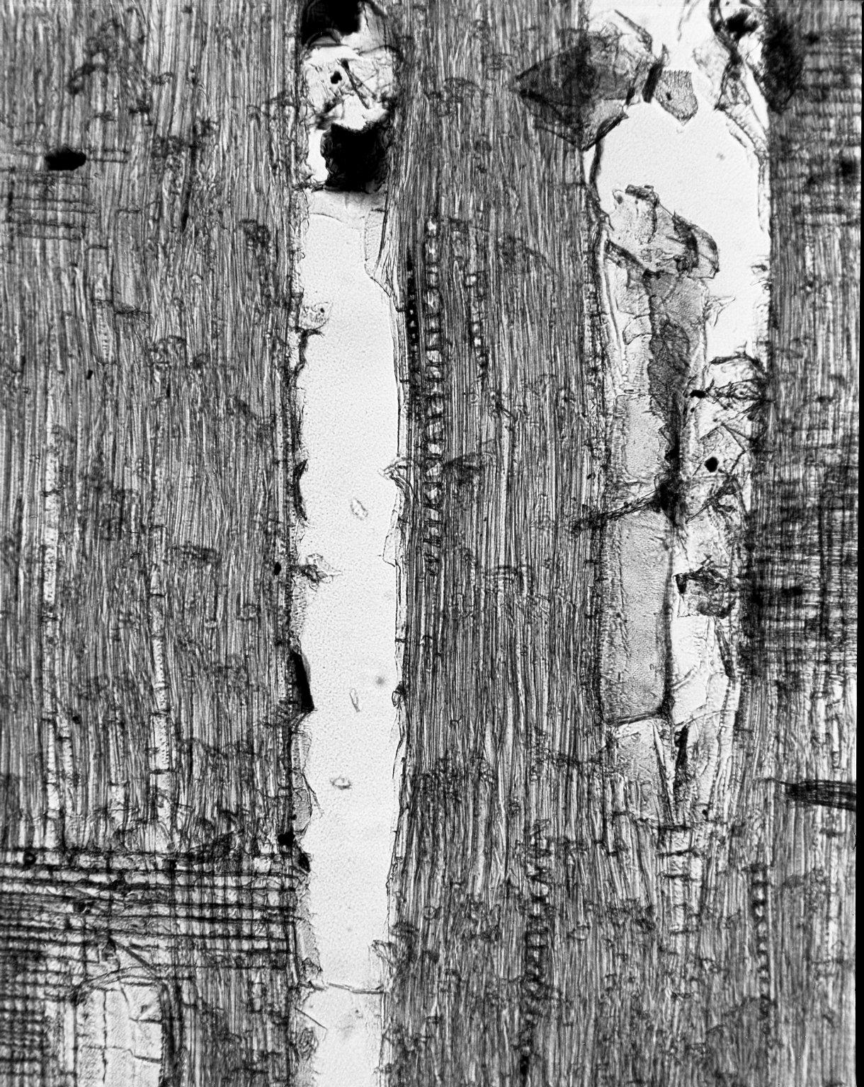 MELIACEAE Lovoa trichilioides
