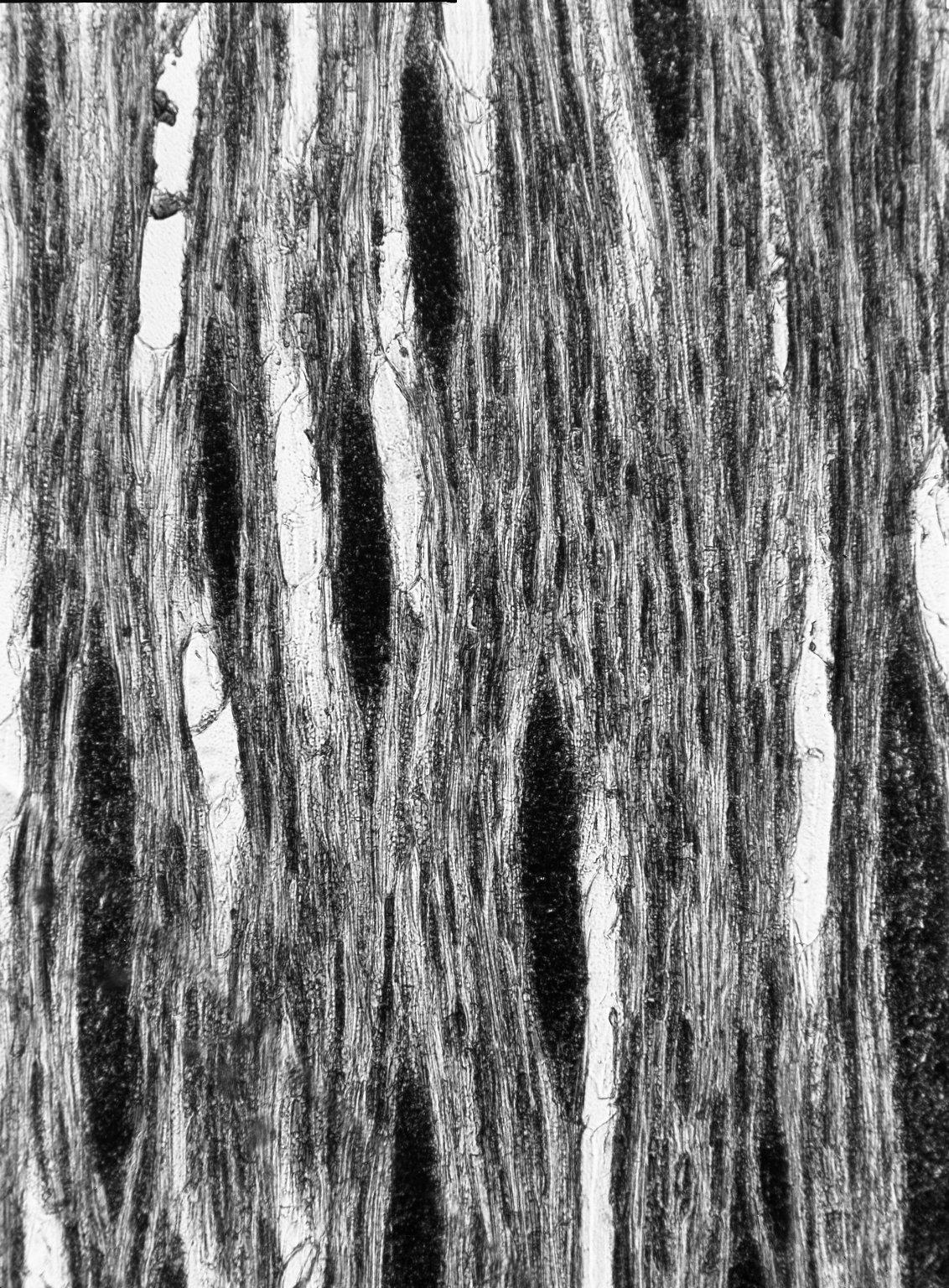 ERICACEAE Philippia pallidiflora
