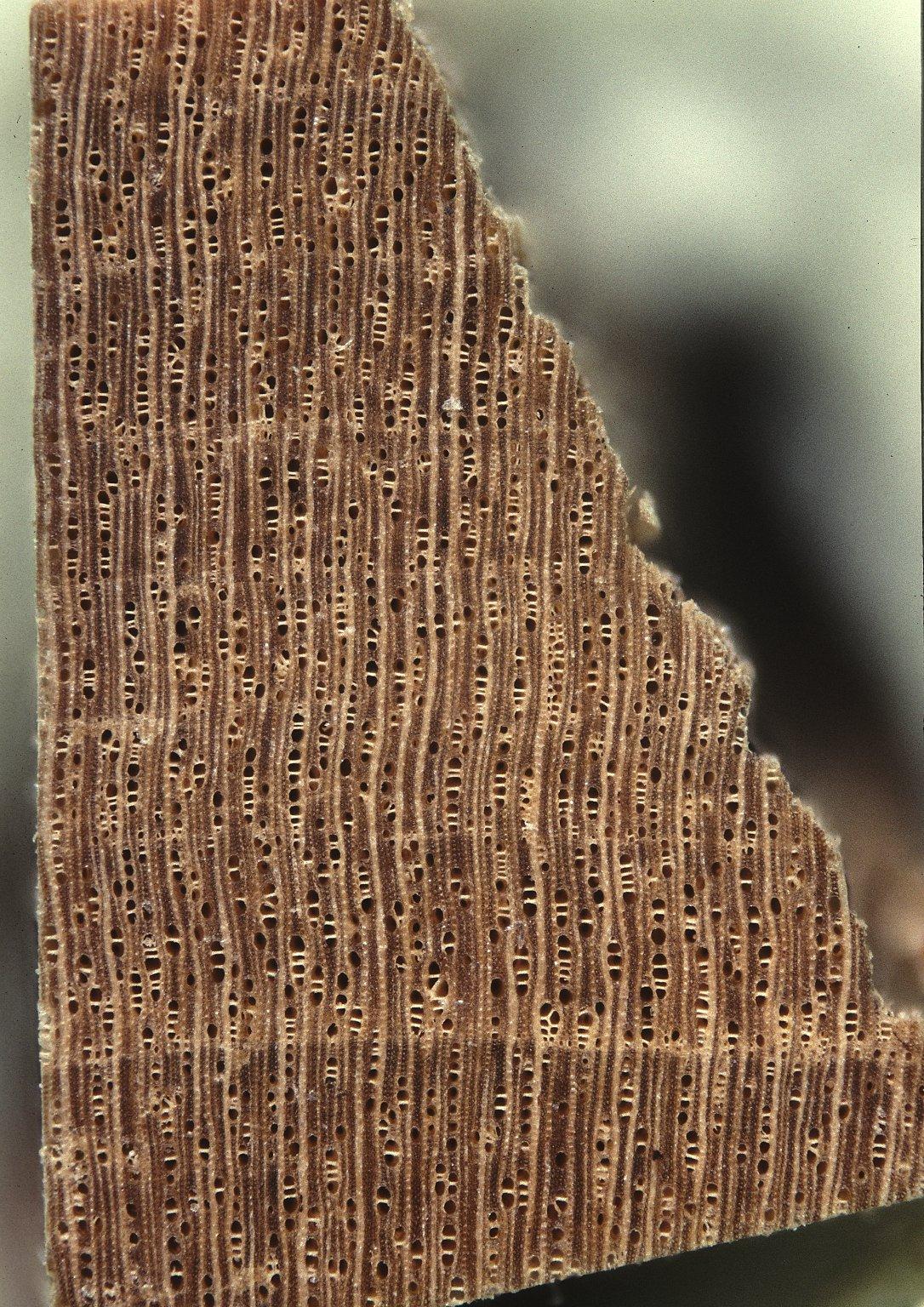 RUBIACEAE Guettarda viburnoides