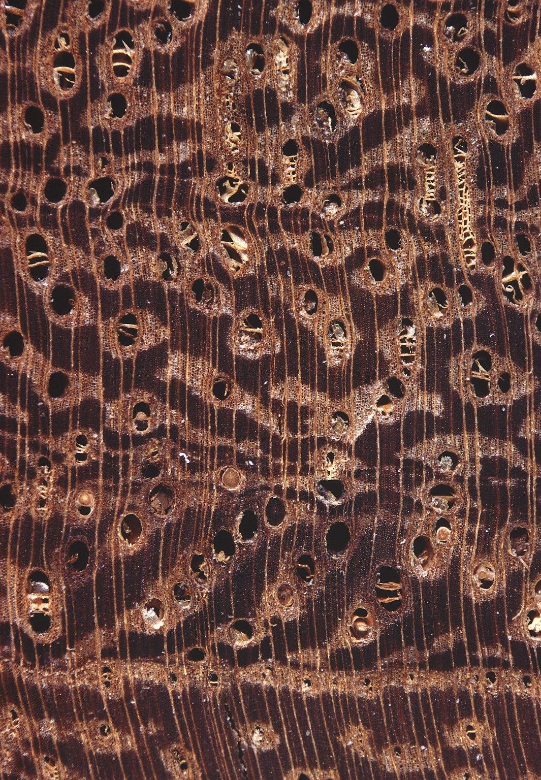 LEGUMINOSAE CAESALPINIOIDEAE Mimosoid Clade Inga leiocalycina