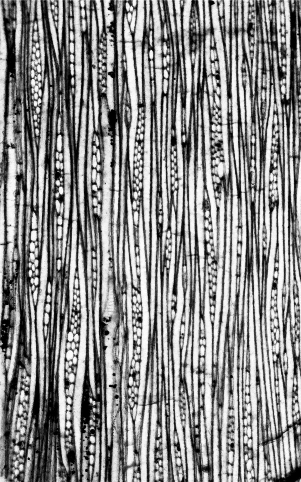 MAGNOLIACEAE Magnoliaceoxylon cutlerii