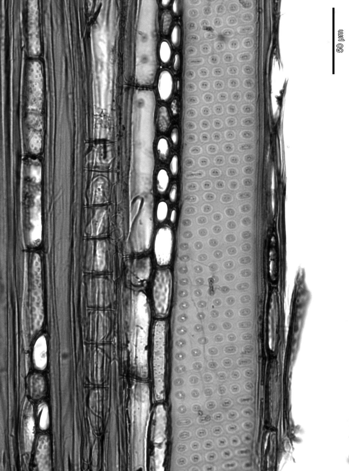 CORNACEAE Camptotheca acuminata
