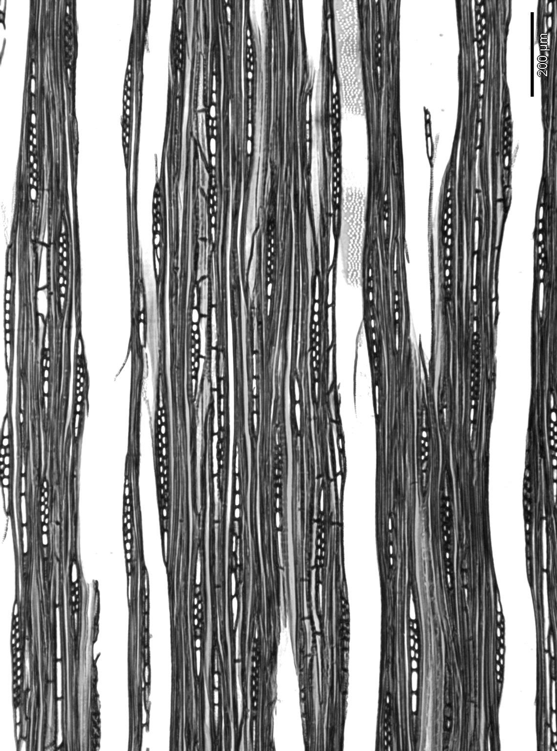NYSSACEAE Nyssa sinensis