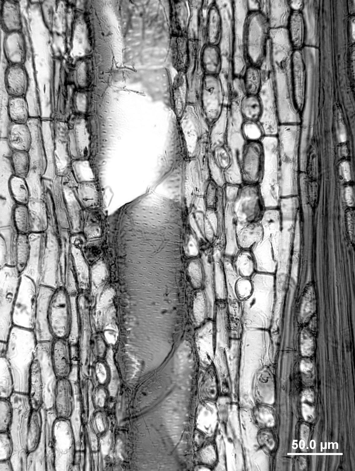 COMBRETACEAE Laguncularia racemosa