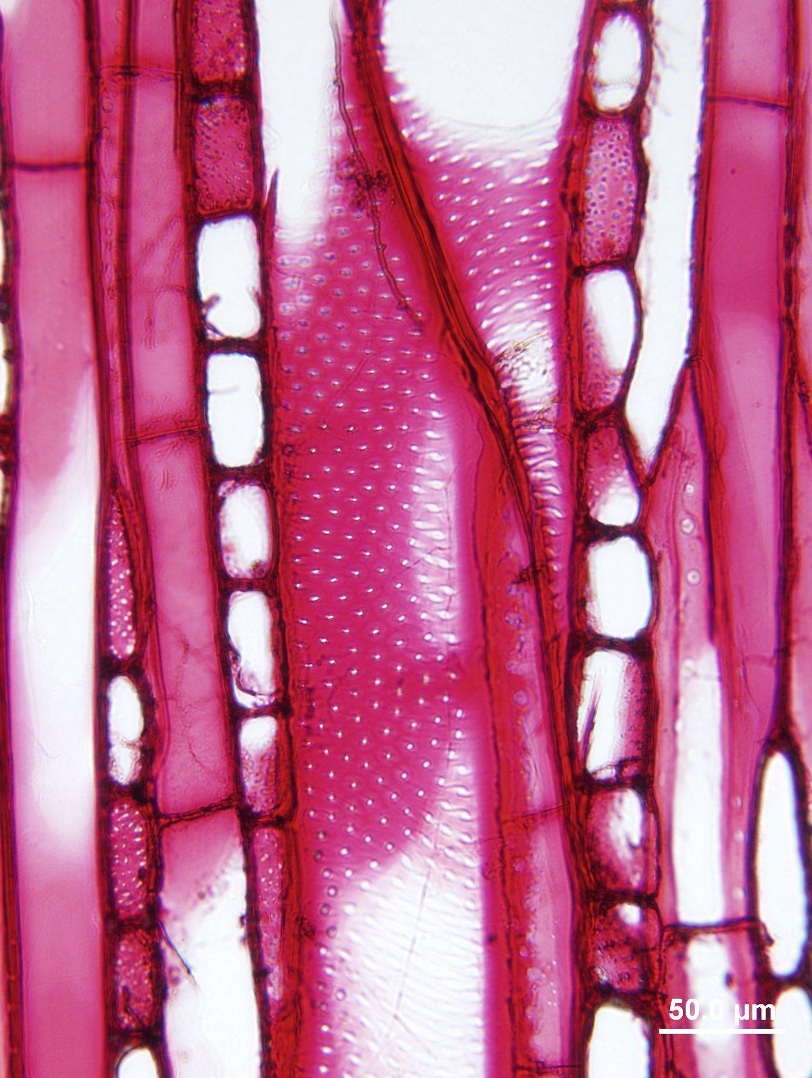EUPHORBIACEAE Sapium glandulosum