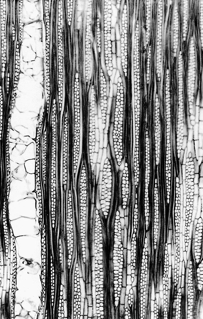 LECYTHIDACEAE Lecythis confertiflora