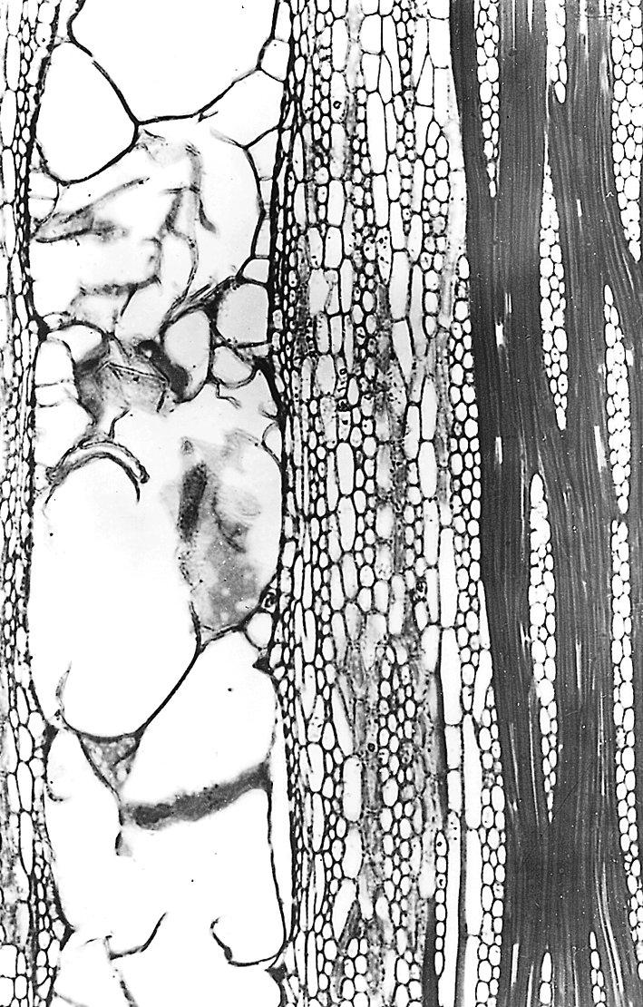 CLUSIACEAE Platonia insignis