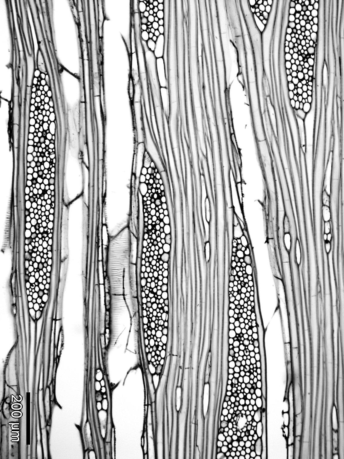 ARALIACEAE Arthrophyllum diversifolium