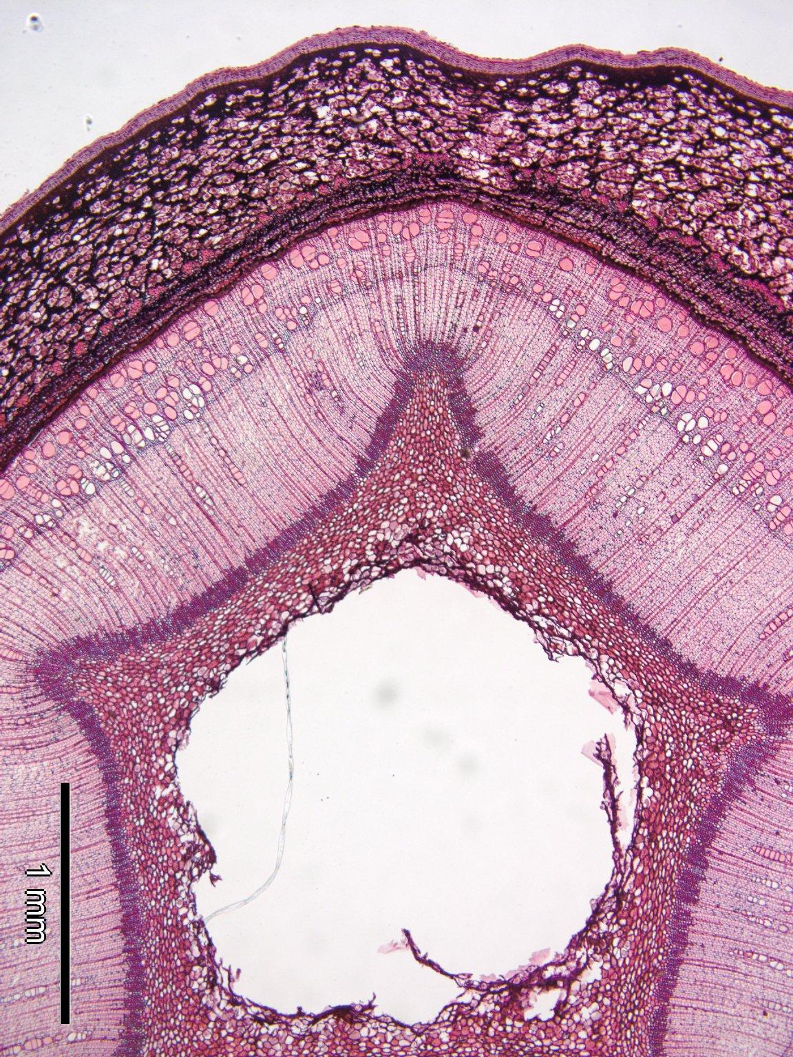 JUGLANDACEAE Pterocarya rhoifolia