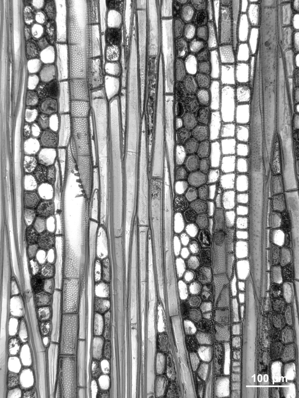 SABIACEAE Meliosma myriantha