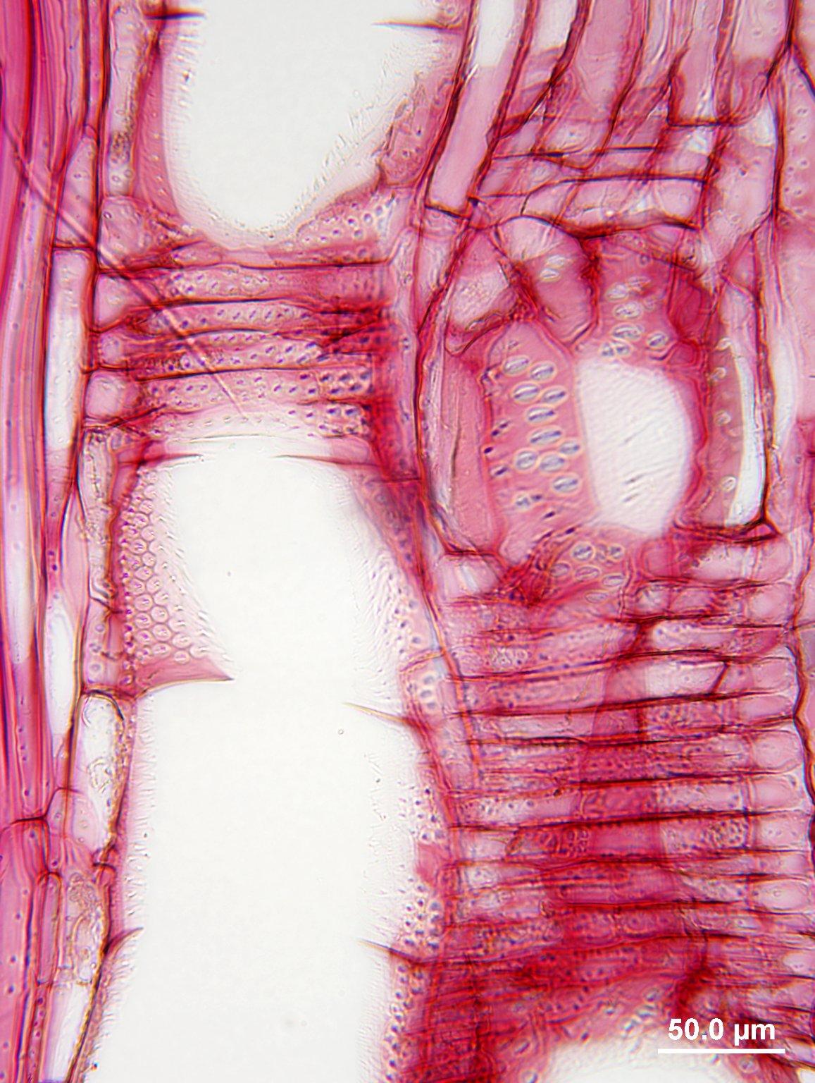 LEGUMINOSAE CAESALPINIOIDEAE Gymnocladus chinensis