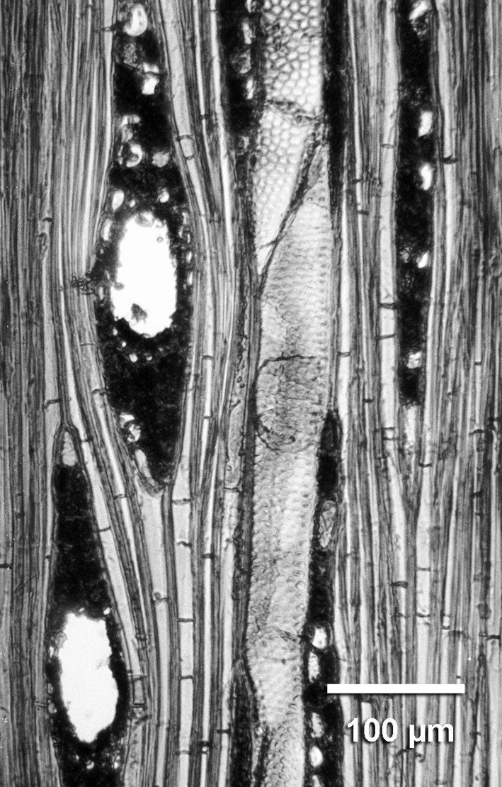 ANACARDIACEAE Loxopterygium sagotii