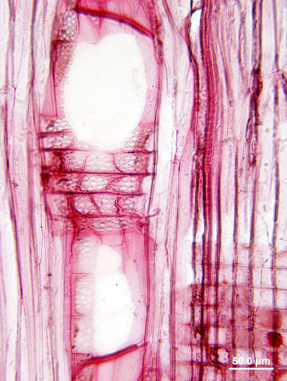 JUGLANDACEAE Pterocarya hupehensis