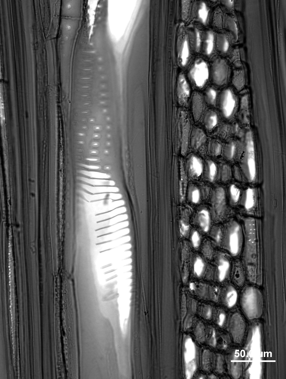 CORNACEAE Mastixia octandra