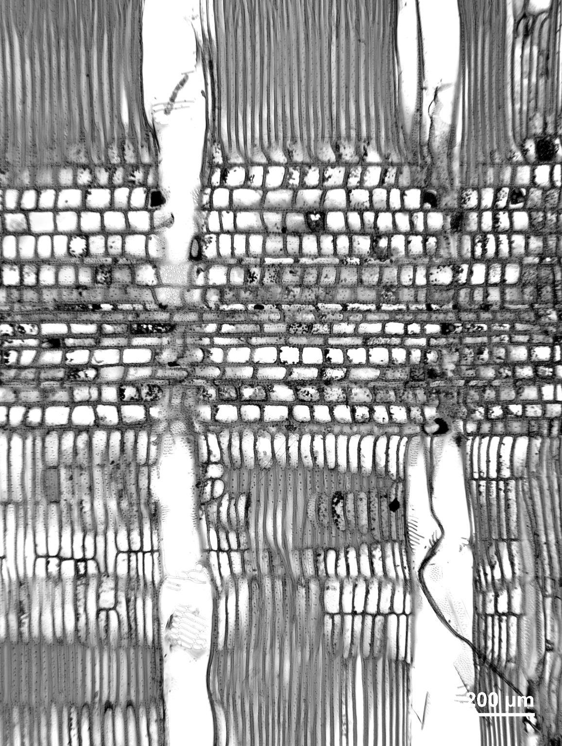 SABIACEAE Meliosma sumatrana
