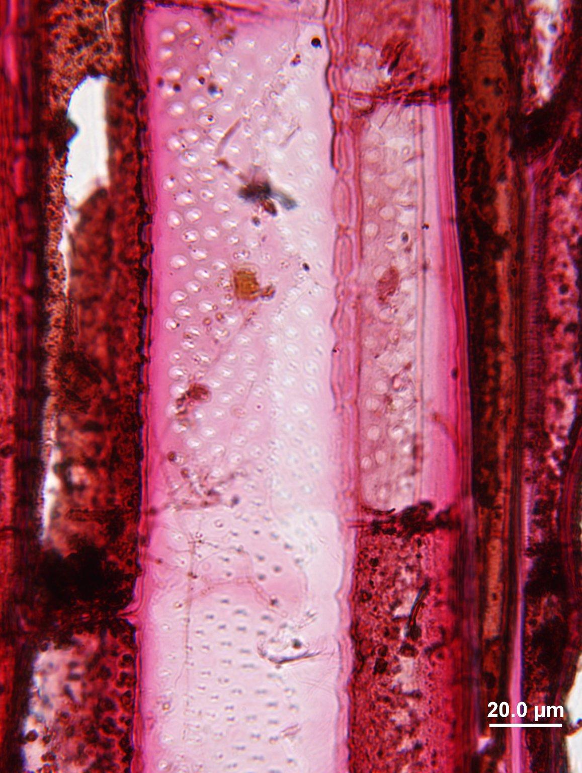 SABIACEAE Meliosma simplicifolia