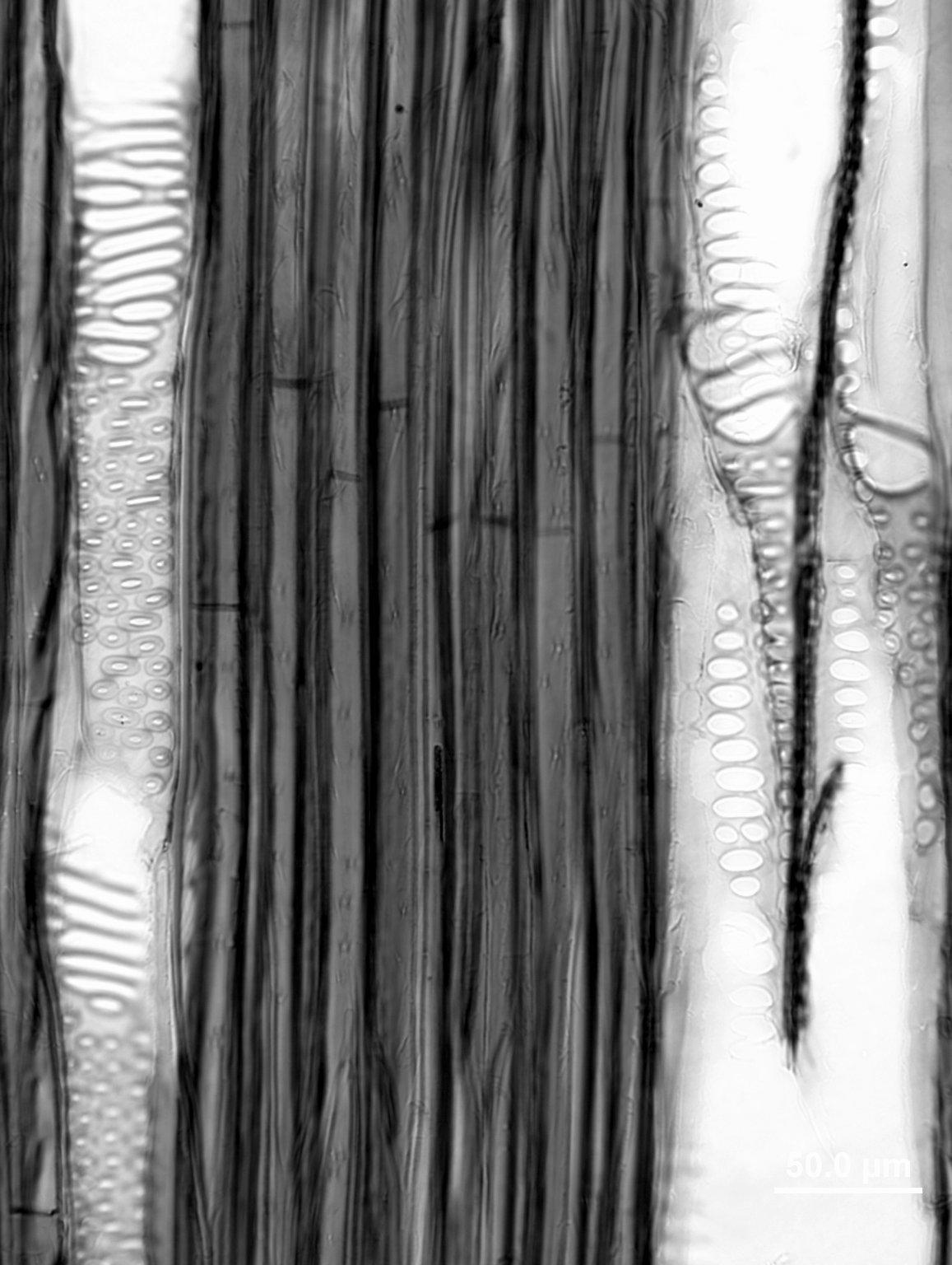 ARALIACEAE Dendropanax arboreus