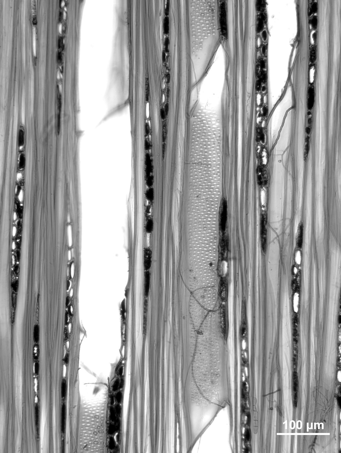 ANACARDIACEAE Campnosperma panamense