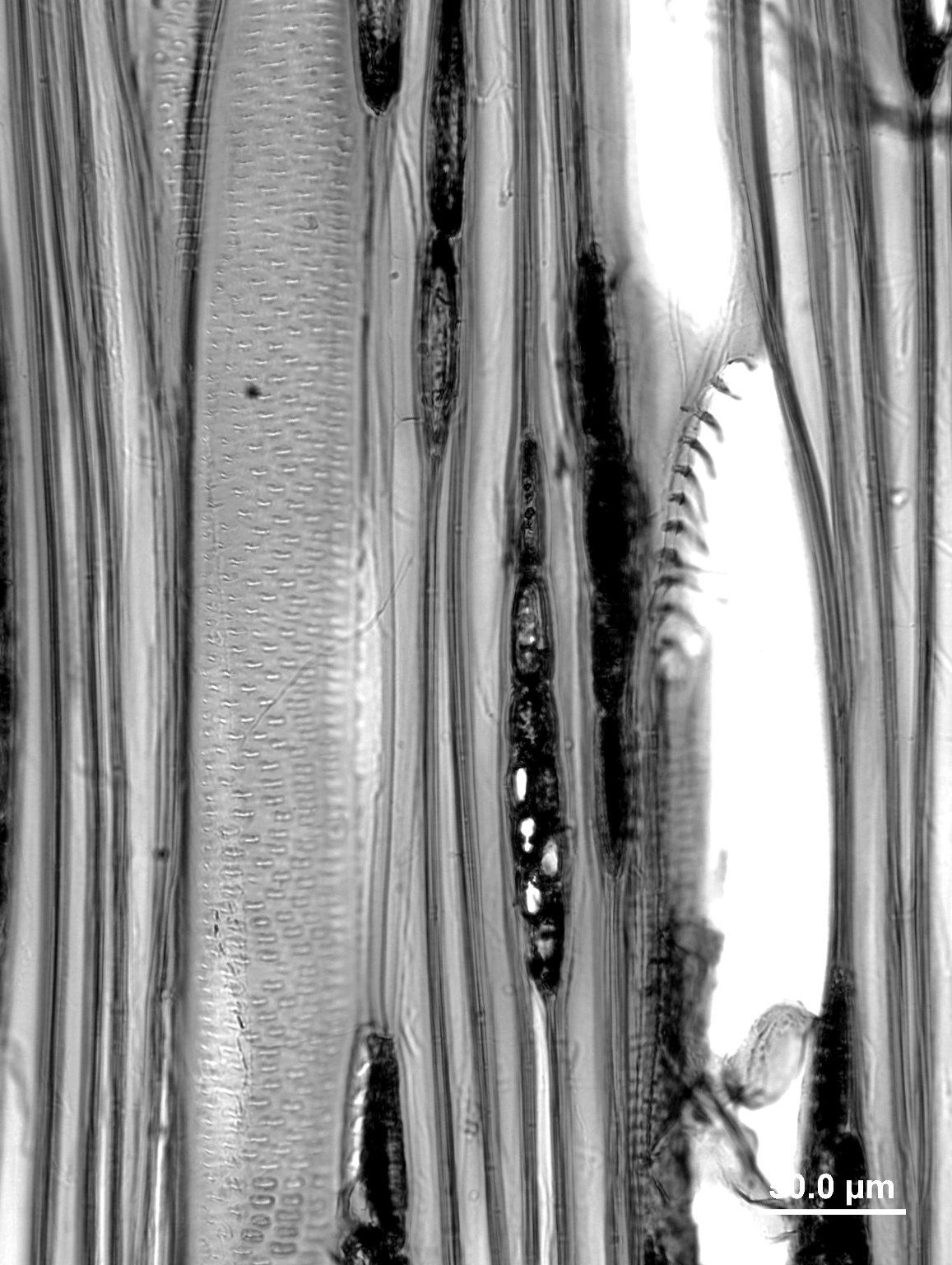 ANACARDIACEAE Campnosperma zeylanica