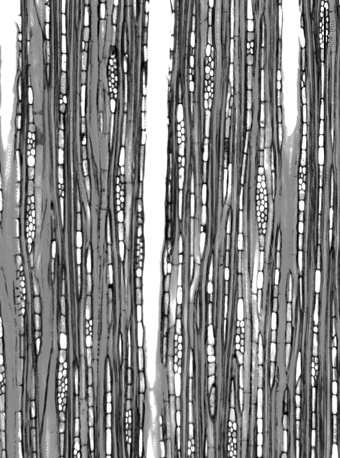 SYMPLOCACEAE Symplocos guianensis