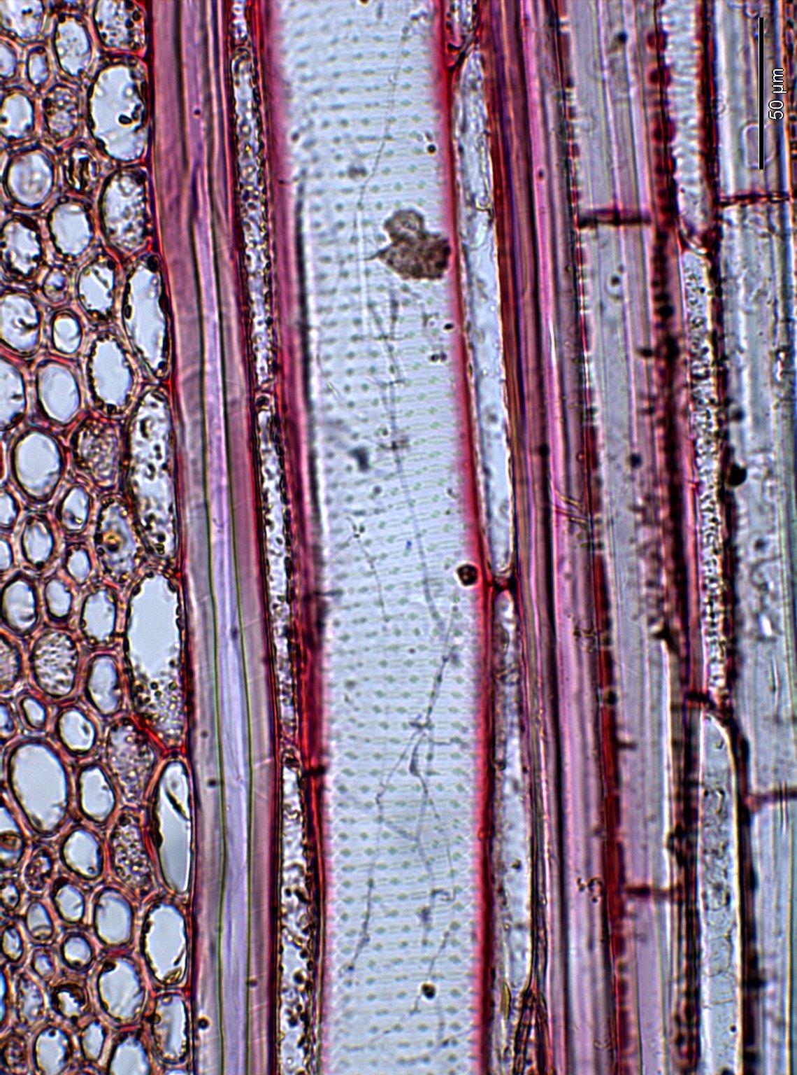 AQUIFOLIACEAE Ilex amplifolia