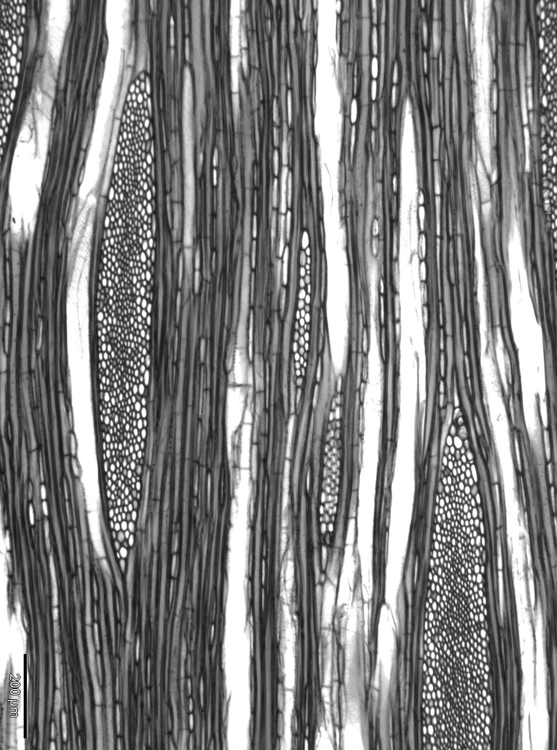 AQUIFOLIACEAE Ilex paraguariensis