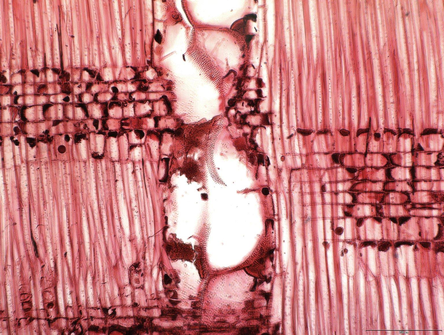LEGUMINOSAE CAESALPINIOIDEAE Prioria oxyphylla