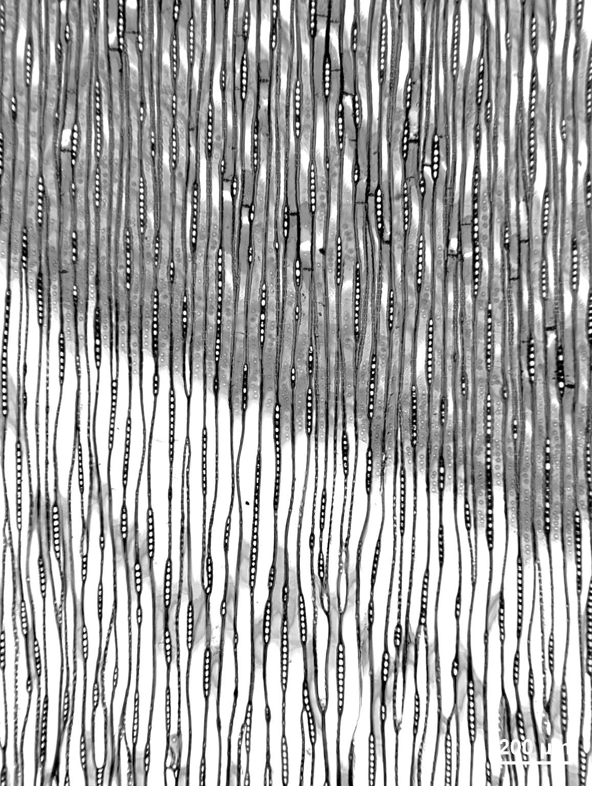 CUPRESSACEAE Taxodium distichum