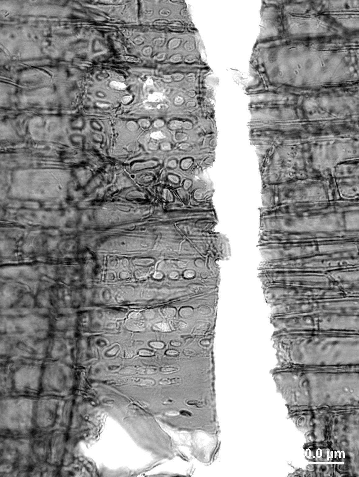 ANACARDIACEAE Haplorhus peruviana