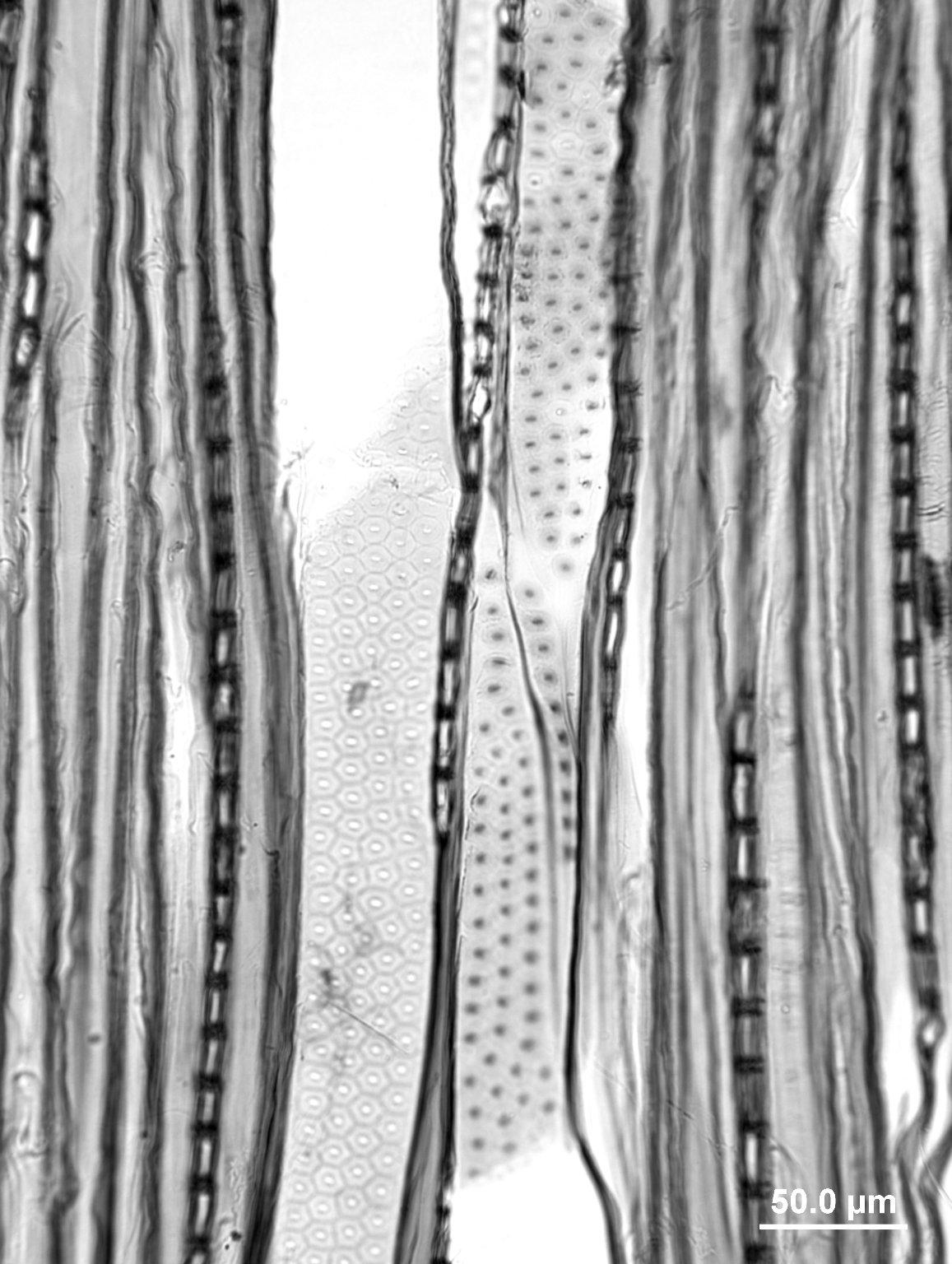 SALICACEAE Populus trichocarpa