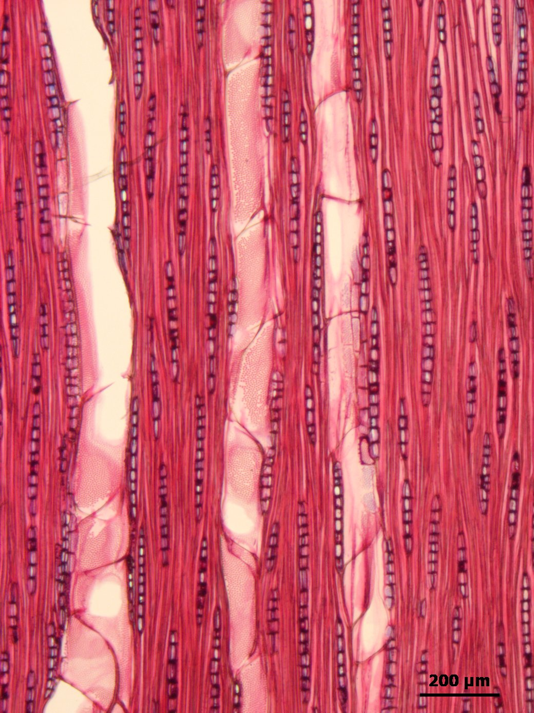 THYMELAEACEAE Aquilaria malaccensis