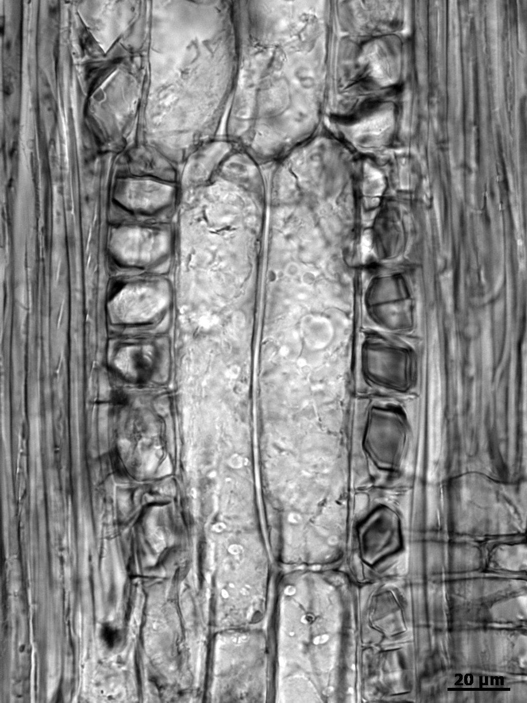 LEGUMINOSAE PAPILIONOIDEAE Platymiscium pleiostachyum
