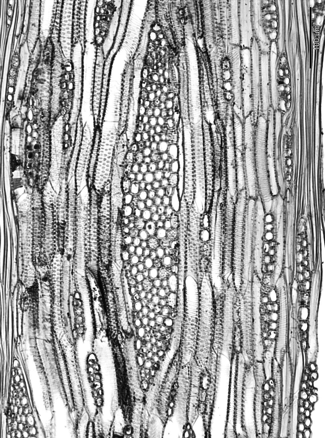 LEGUMINOSAE PAPILIONOIDEAE Cytisus scoparius