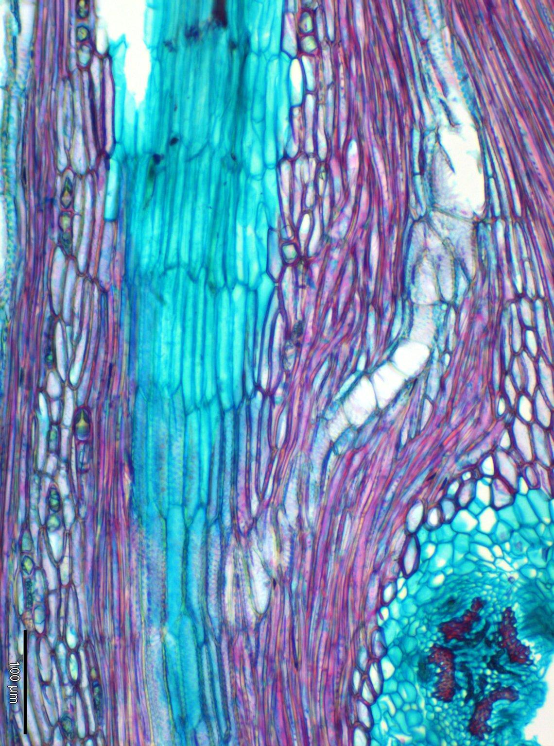 CHENOPODIACEAE Atriplex halimus