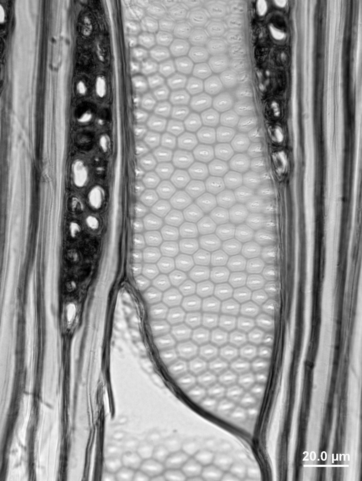 SAPINDACEAE Acer macrophyllum