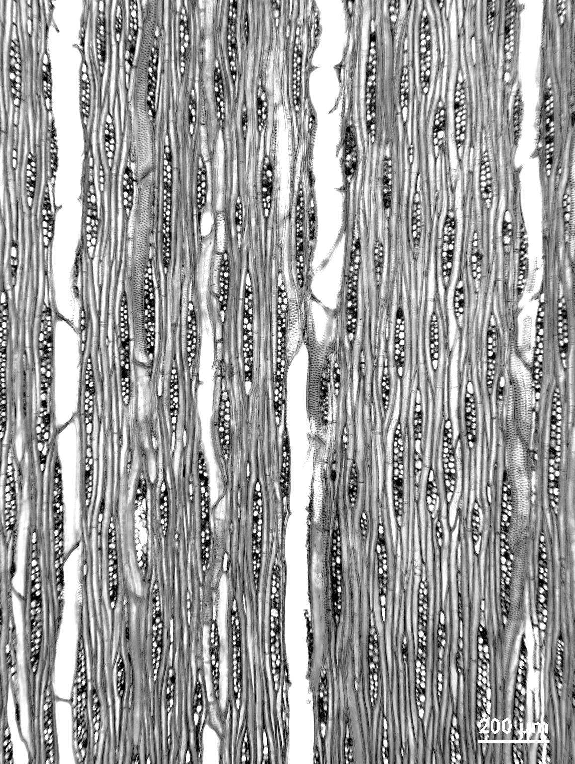 LAURACEAE Nectandra coriacea