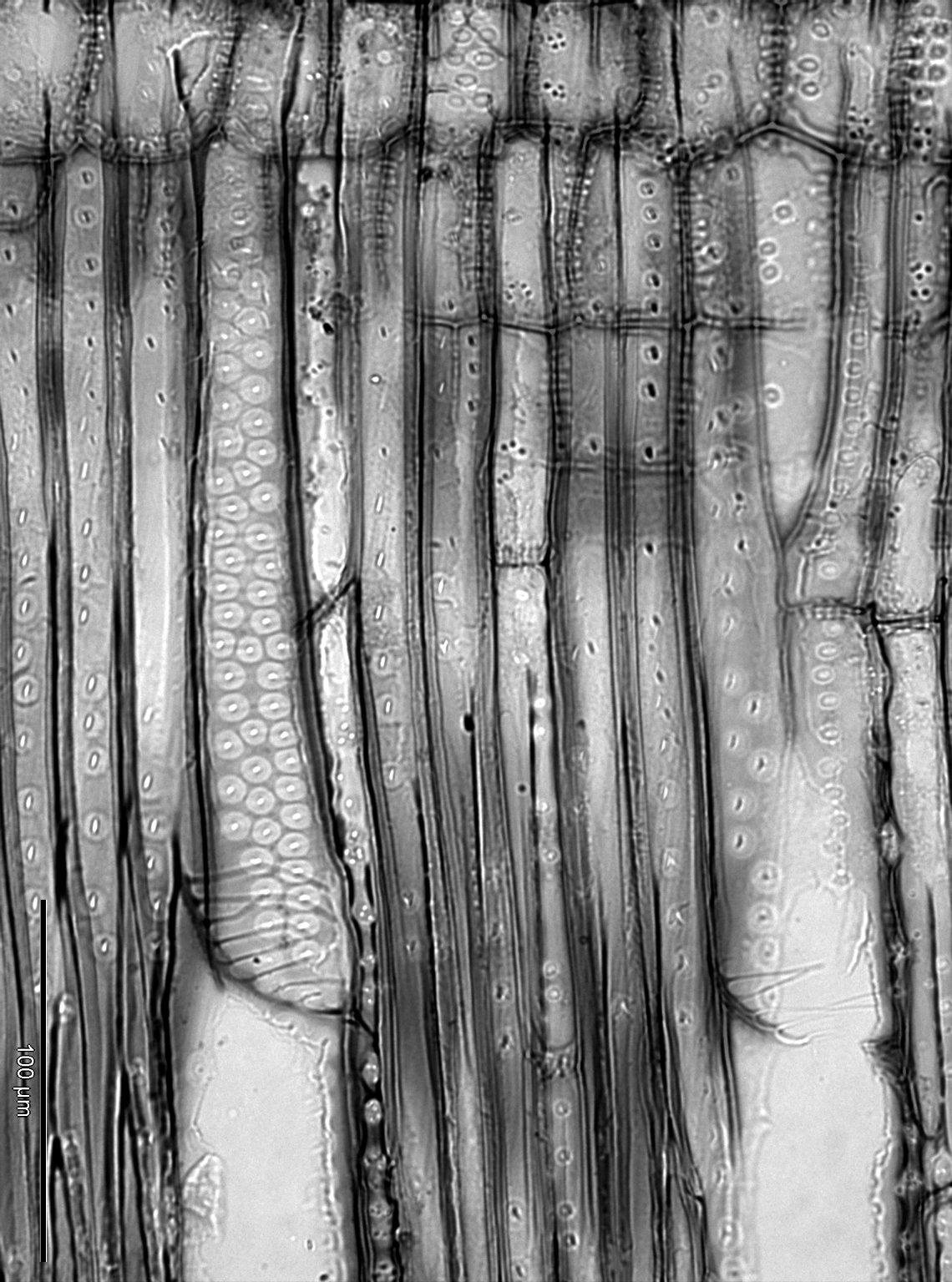 STAPHYLEACEAE Staphylea trifoliata