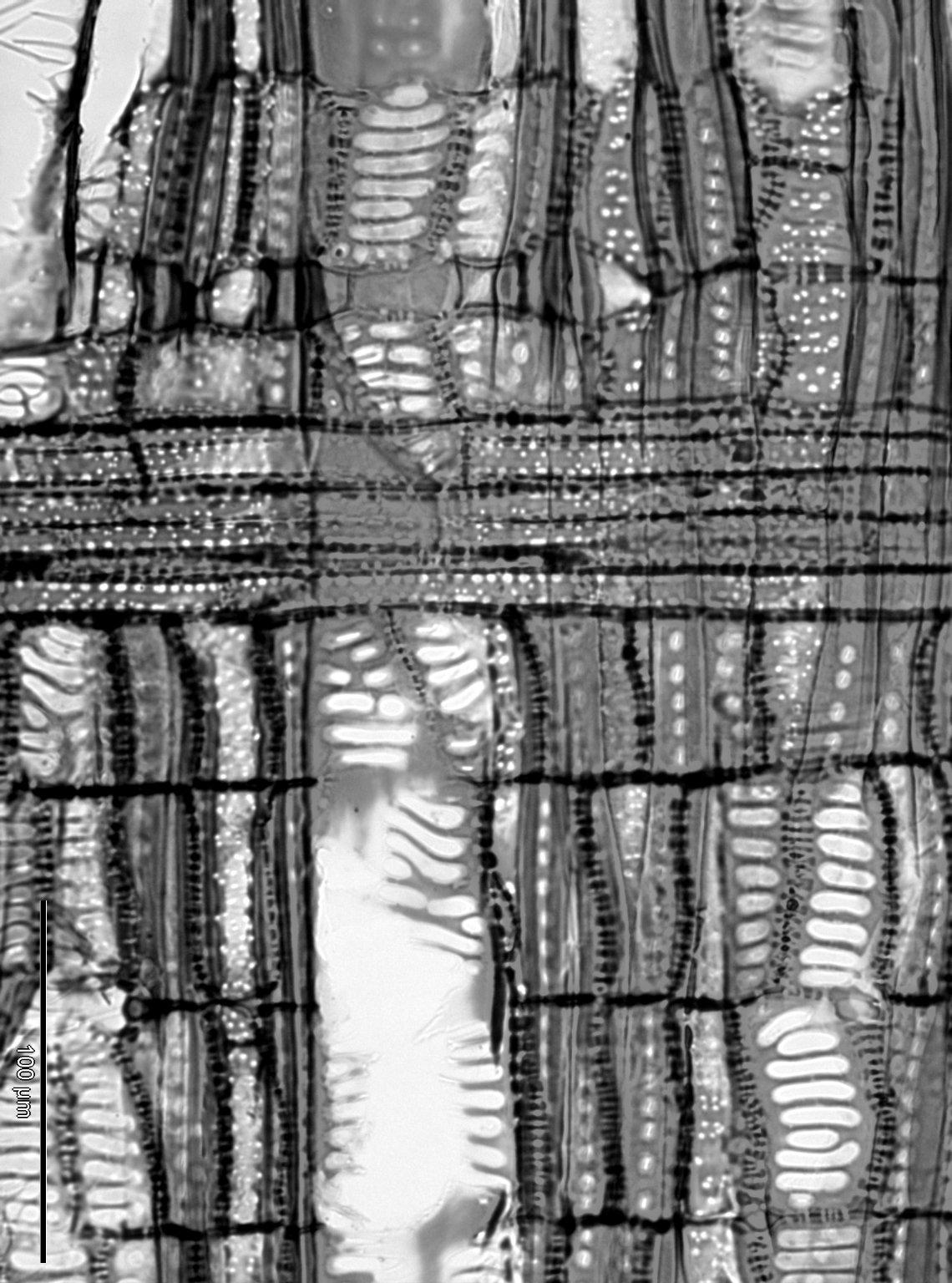 THEACEAE Gordonia sp