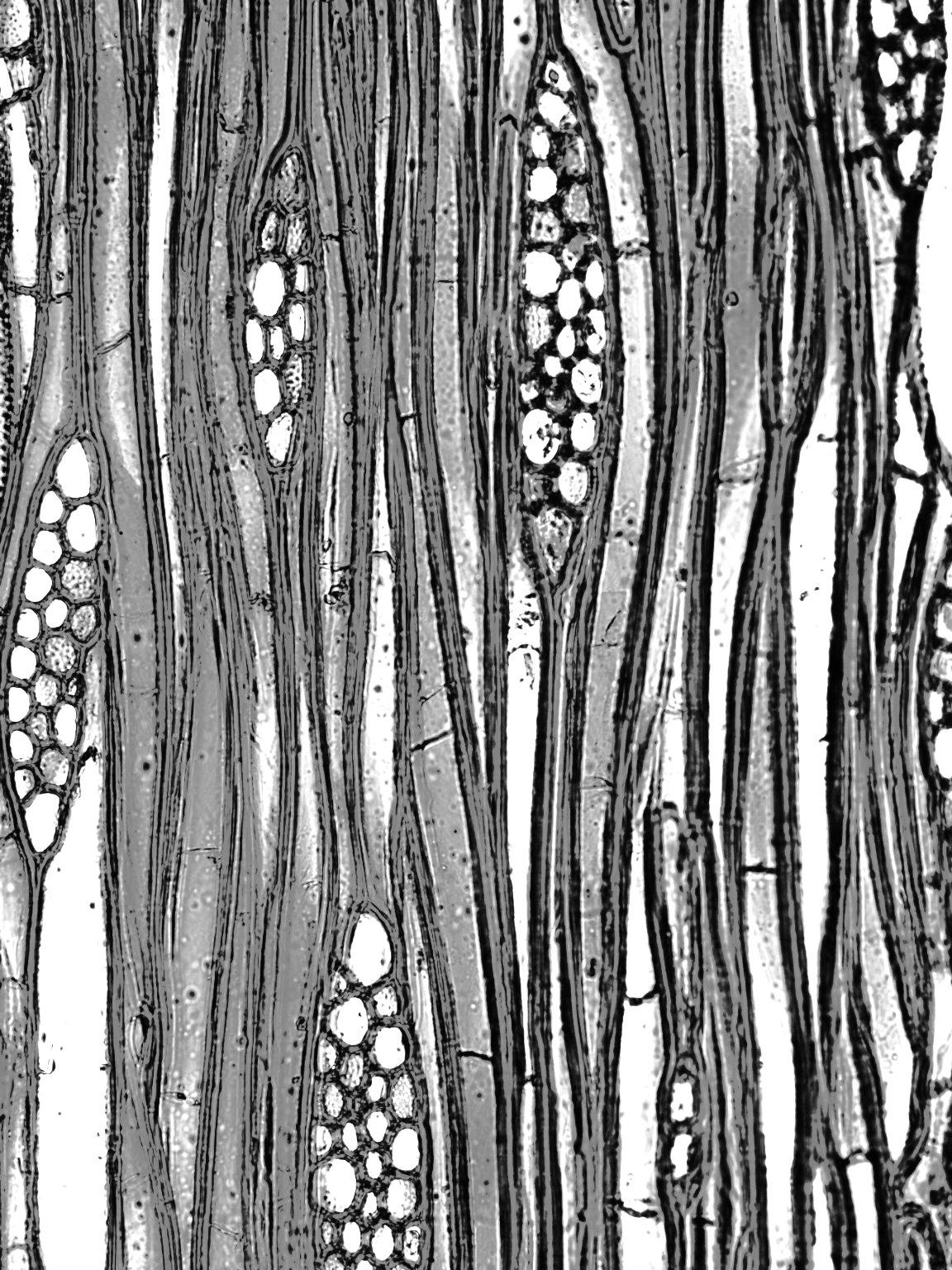 BIGNONIACEAE Delostoma integrifolium
