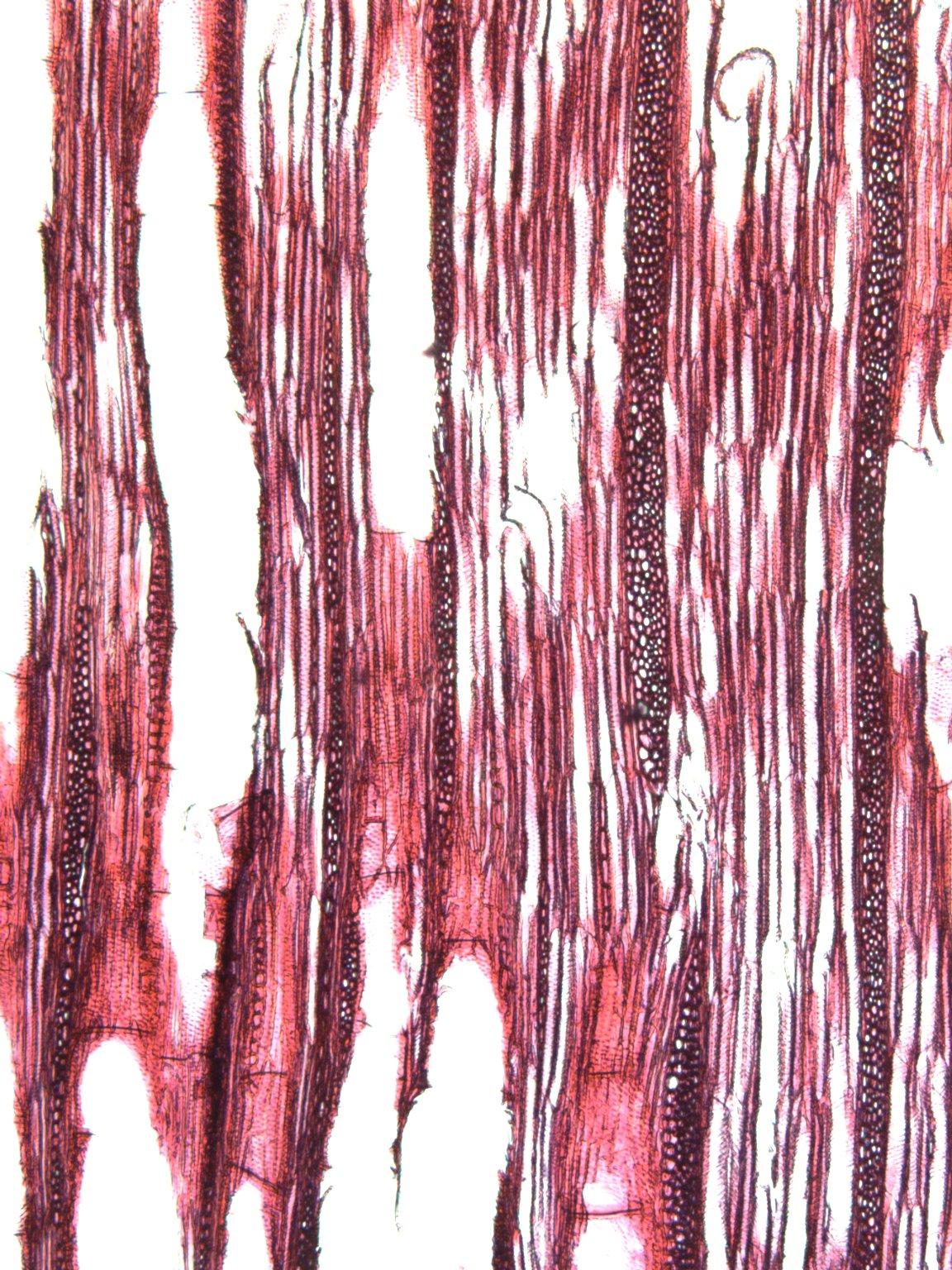 BIGNONIACEAE Bignonia capreolata