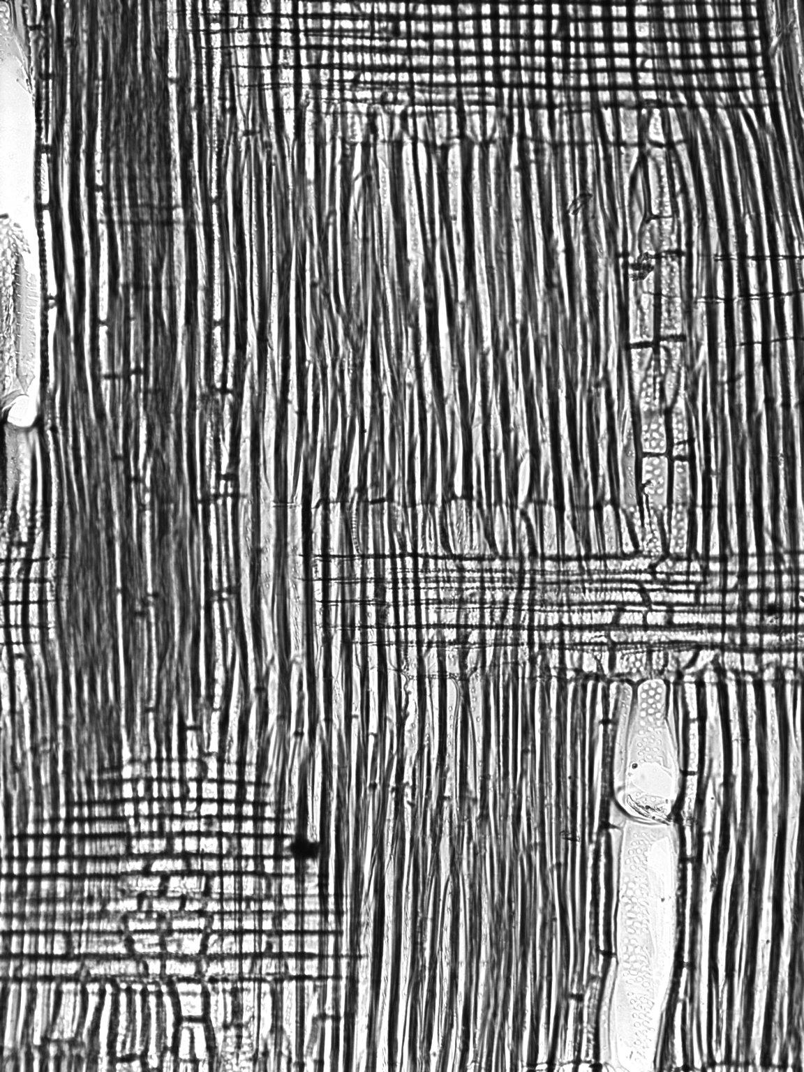 BIGNONIACEAE Jacaranda puberula