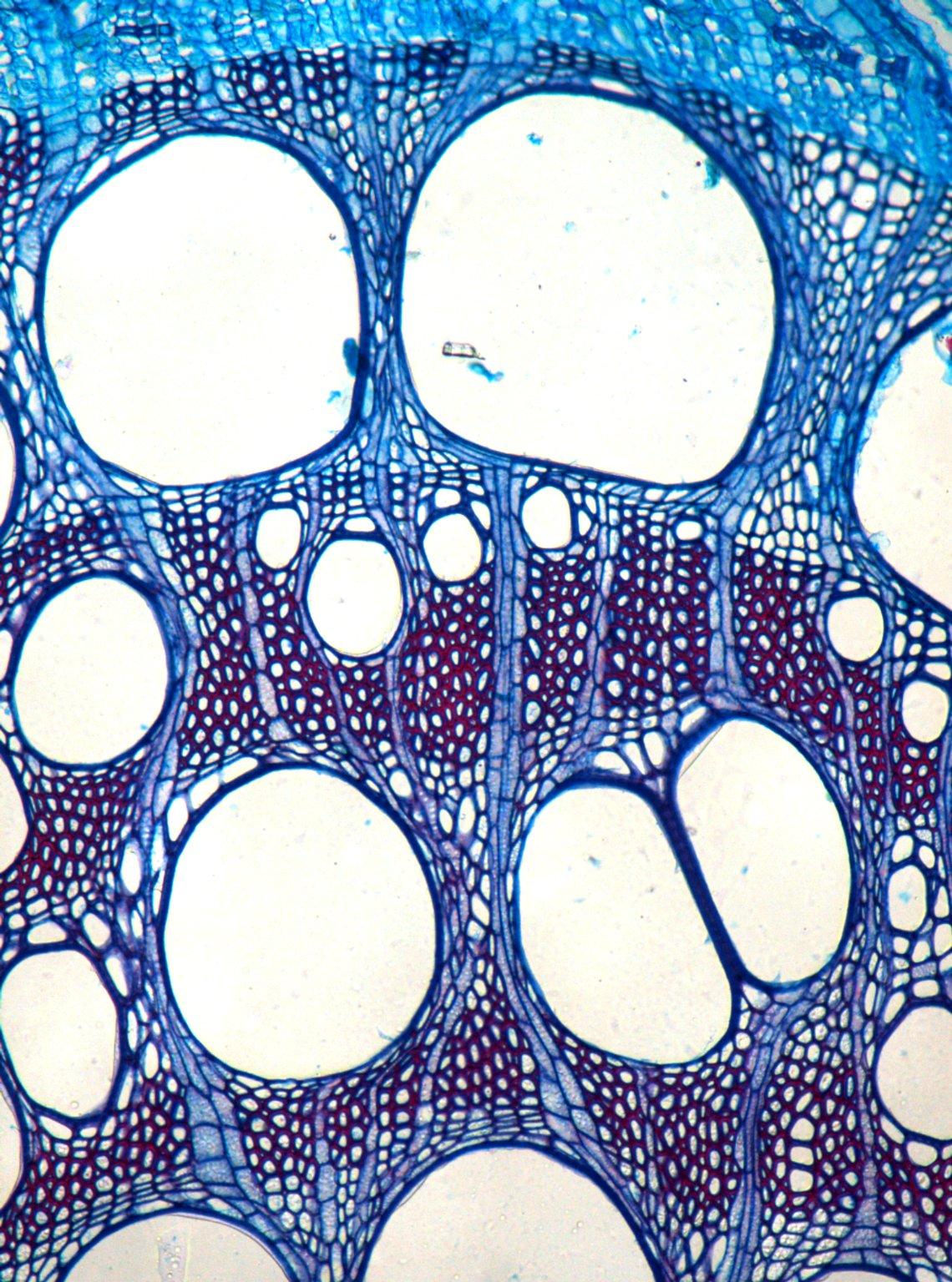 BIGNONIACEAE Lundia corymbifera
