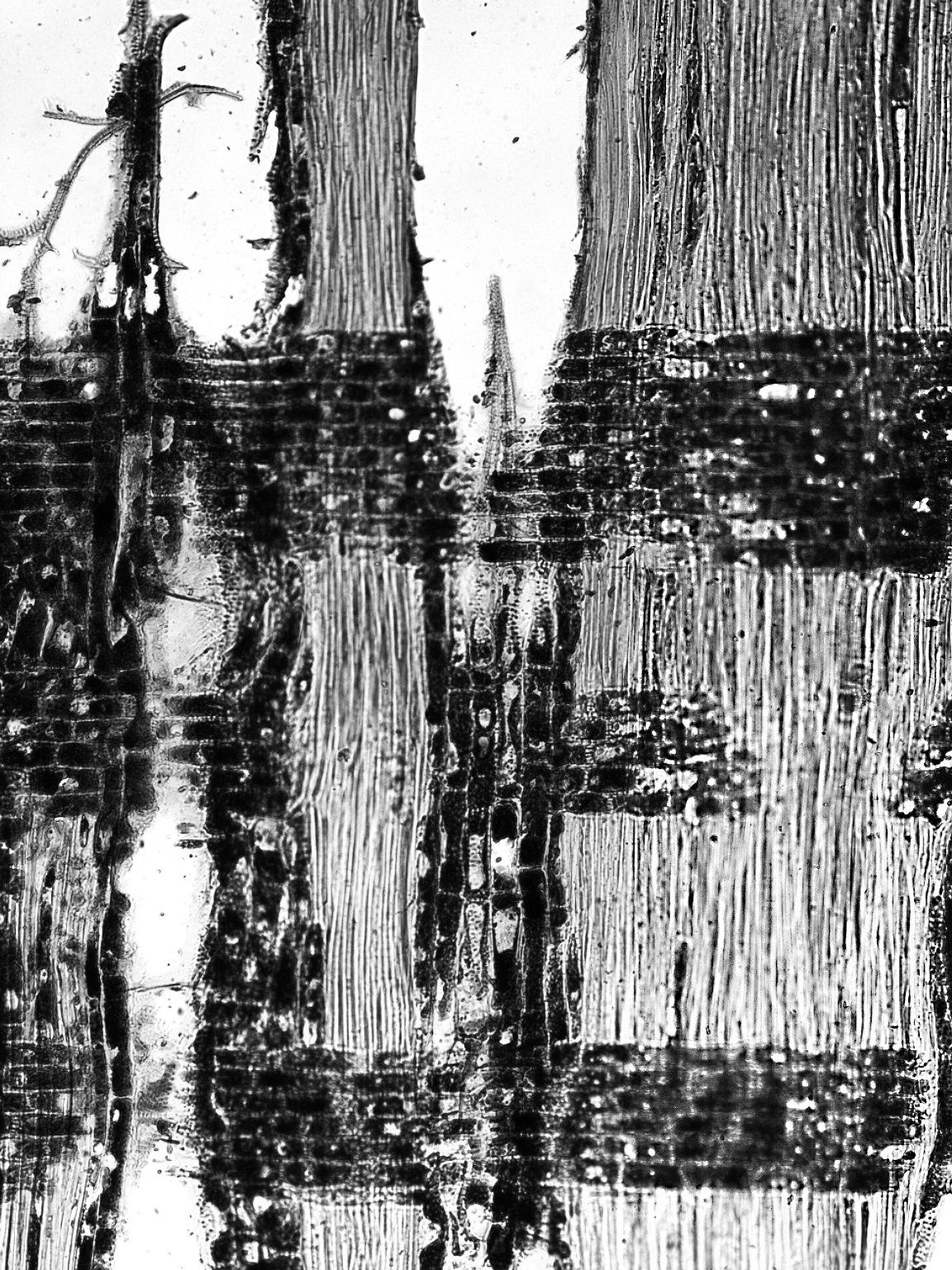 BIGNONIACEAE Rhodocolea telfairiae