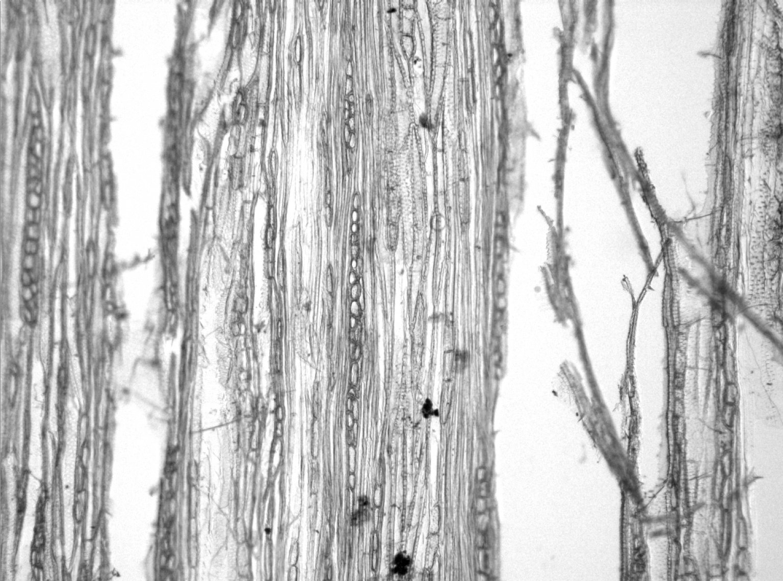 BIGNONIACEAE Neojobertia mirabilis