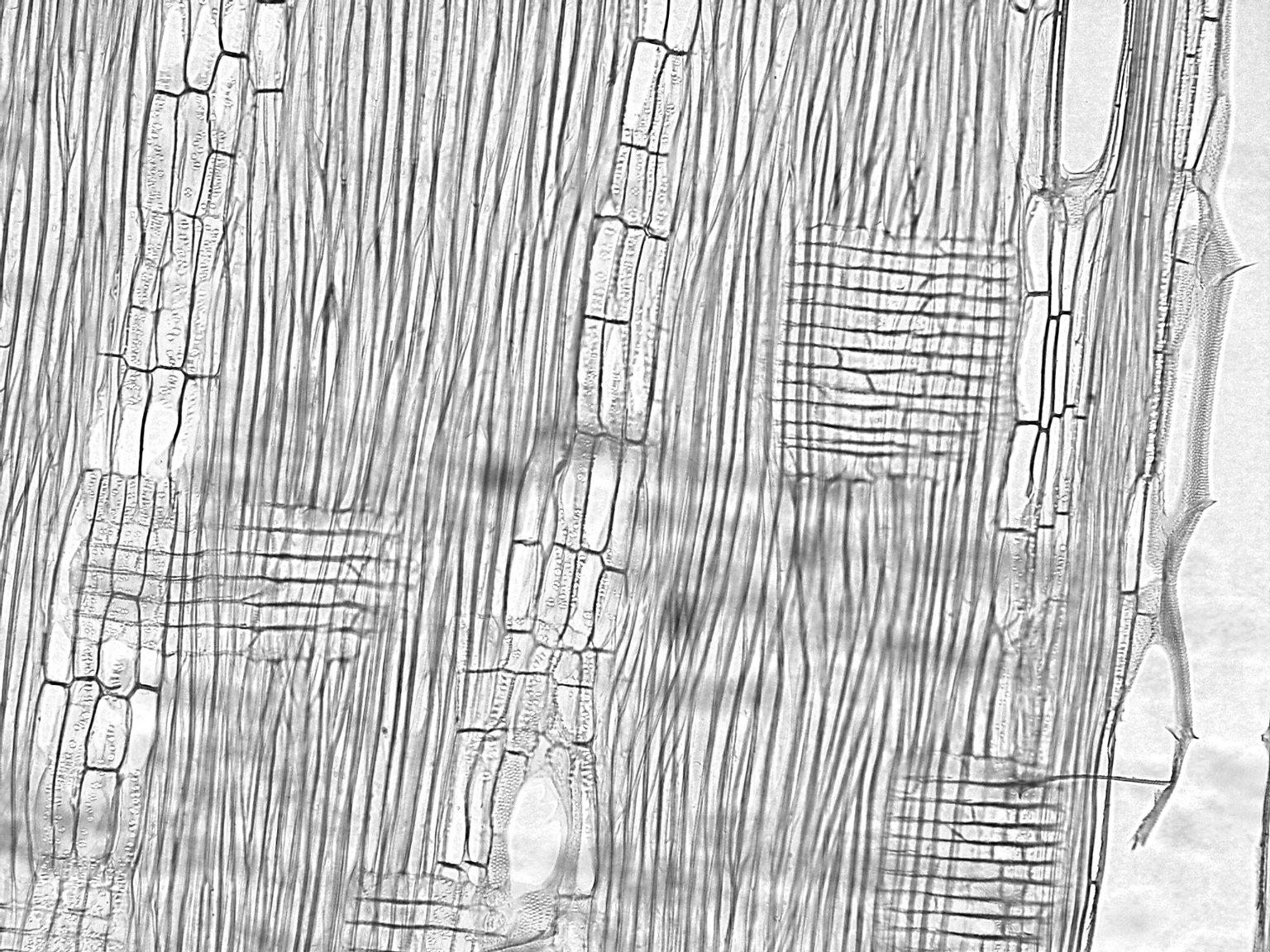 BIGNONIACEAE Tabebuia obtusifolia