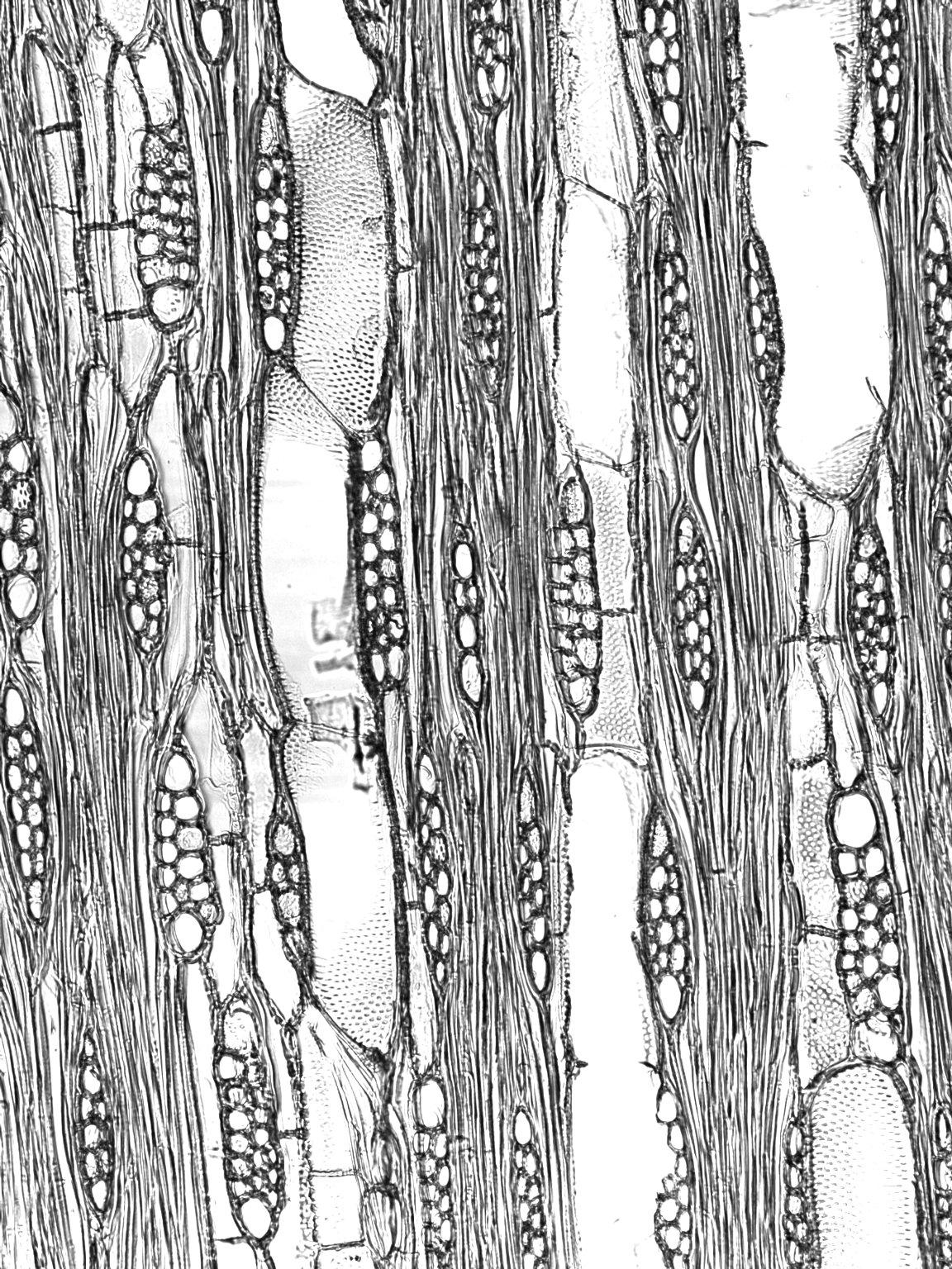 BIGNONIACEAE Zeyheria montana