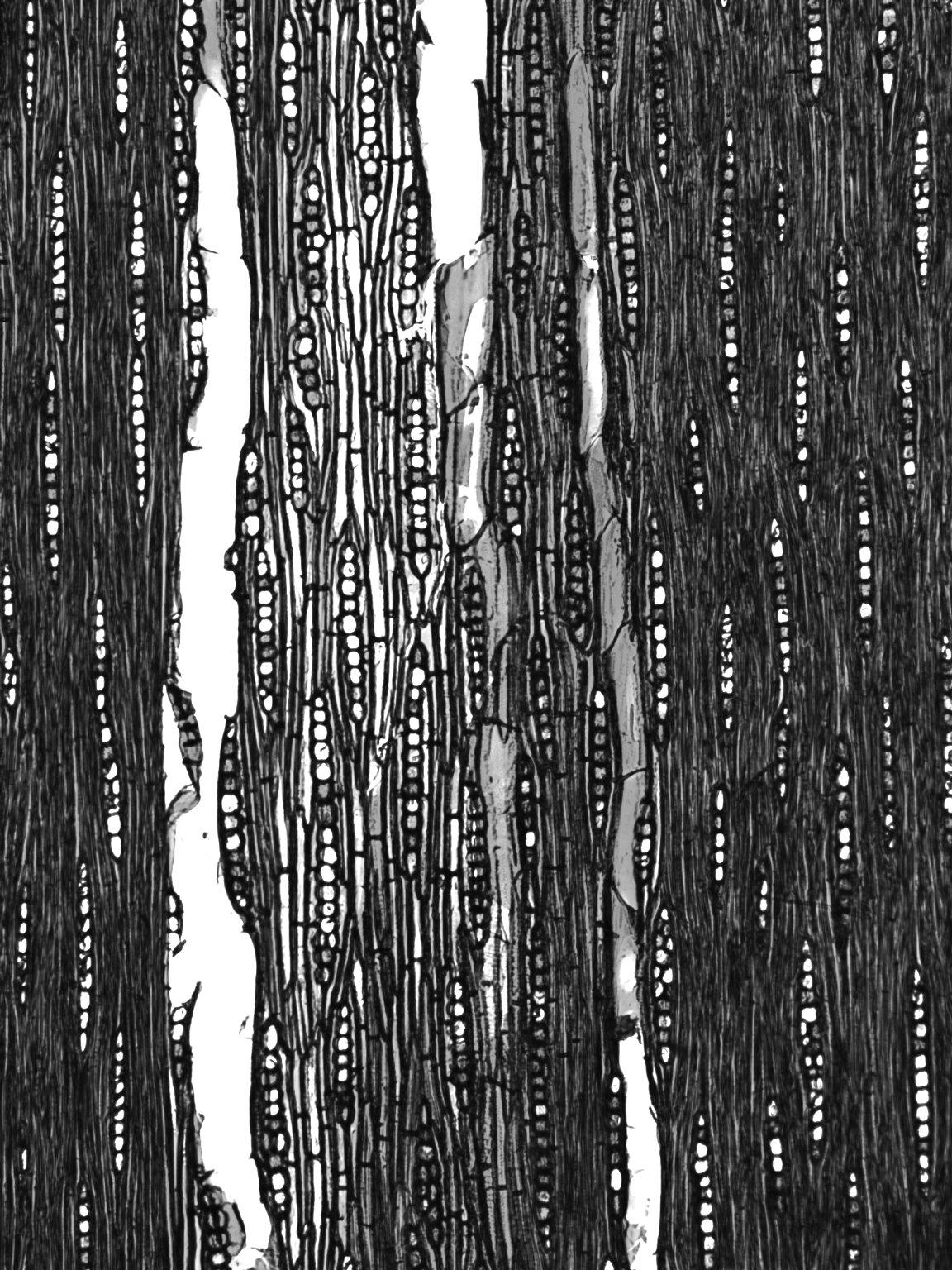 BIGNONIACEAE Tabebuia fluviatilis